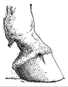 Drawing of a horse's hoof